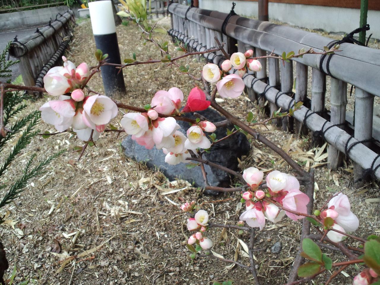 今年も咲きました。