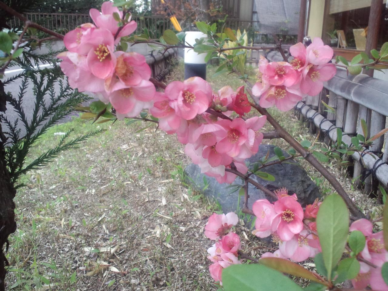 ぼけの花…パート2