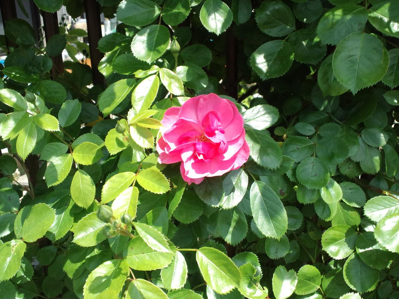 うちの庭、バラ編